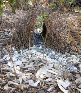 51 Bowerbird nest